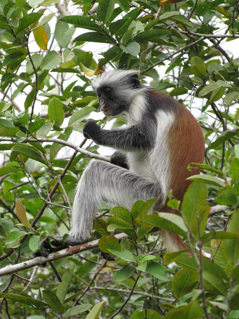 Foresta di Jozani Red Colobus Zanzibarviaggi -